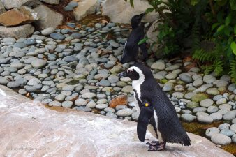 African Penguin at the Jurong Bird Park