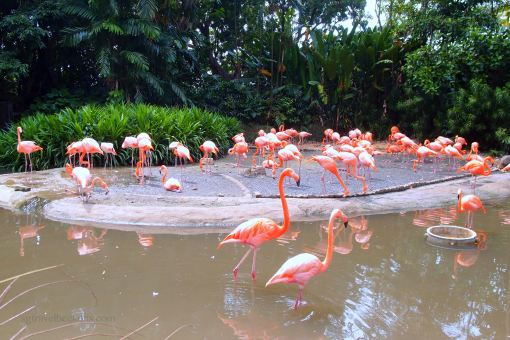Flamingos at Jurong Bird Park
