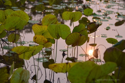 Captured sun in the lotus pond