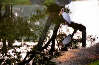 'Superstar' heron
